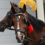 Konie udekorowane na wesele